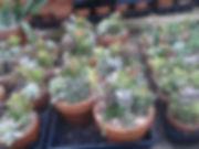 6in. cacti.jpg