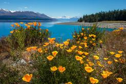 LAKE PUKAKI, FLOWERS