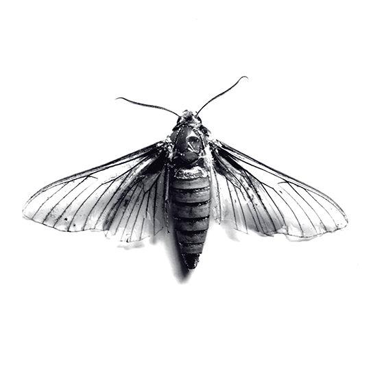 Dead Moth Photo Print /5x5  (in stock)