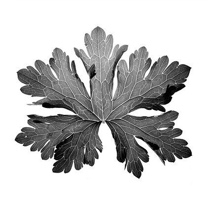 GERANIUM Leaf Photo print( IN STOCK) 5x5