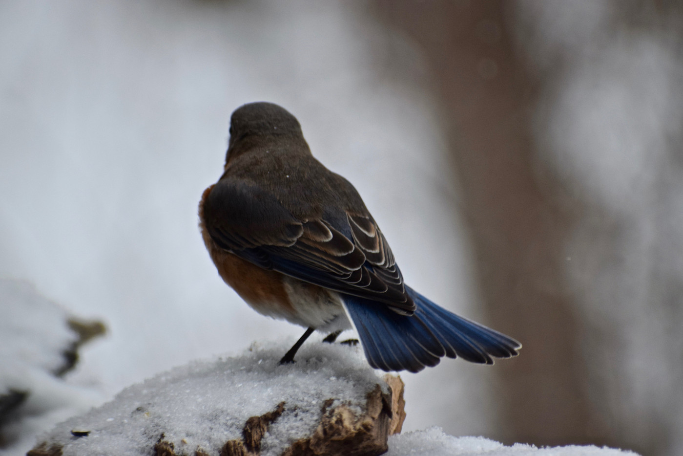 blue bird back