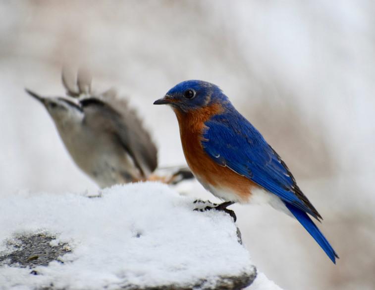Bluebird & Nuthatch