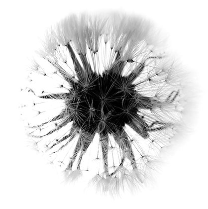 DANDELION SEED photo print