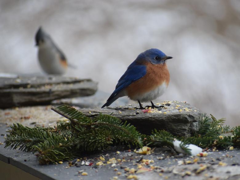 bluebird & titmouse