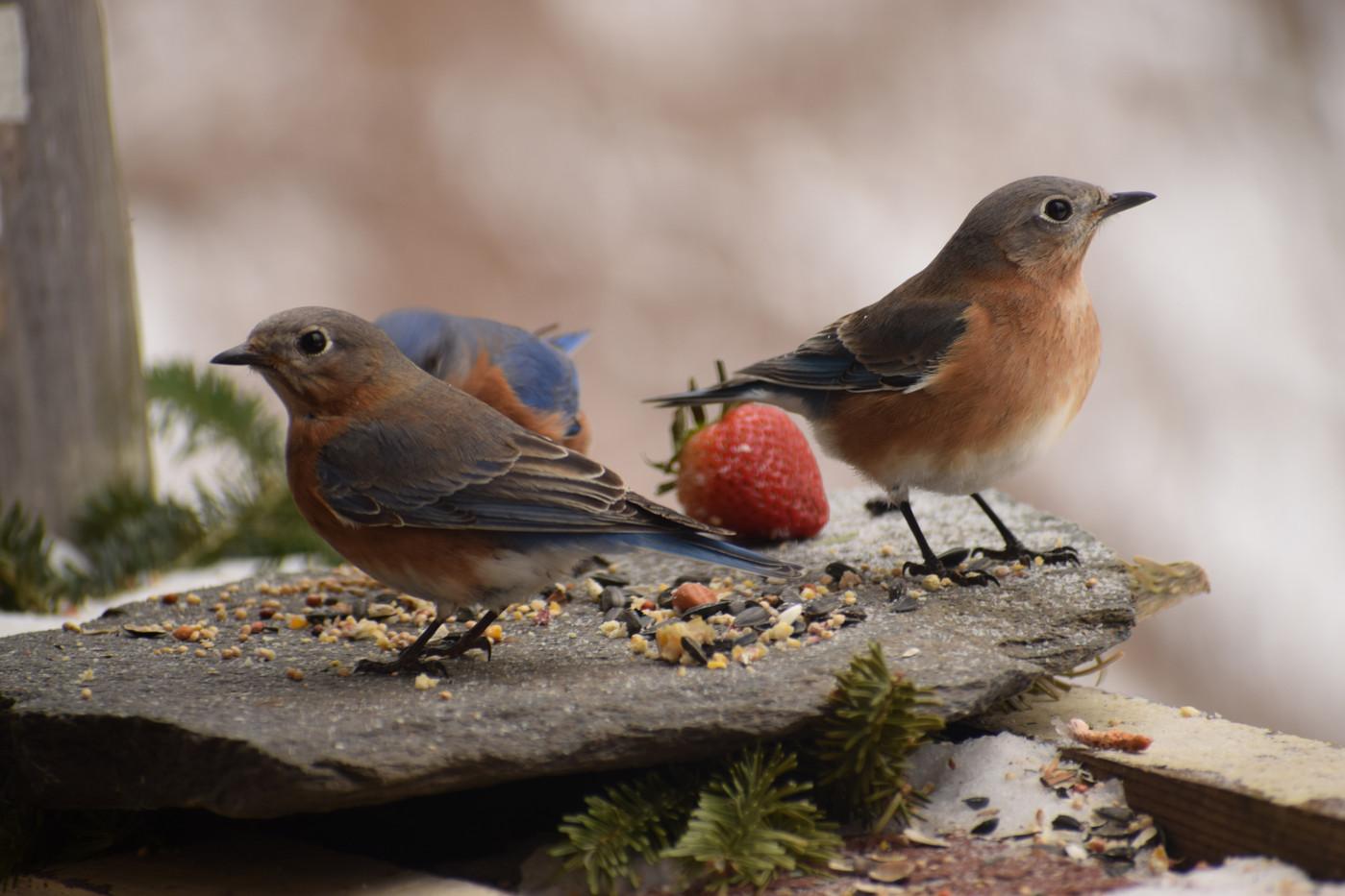bluebirds & strawberry