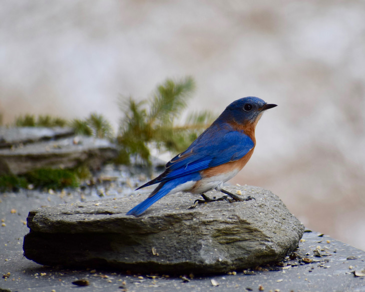 small bluebird
