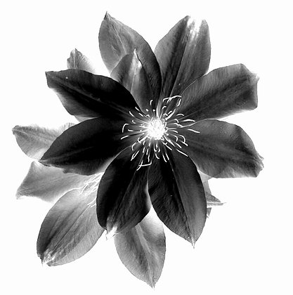 CLEMATIS photo print
