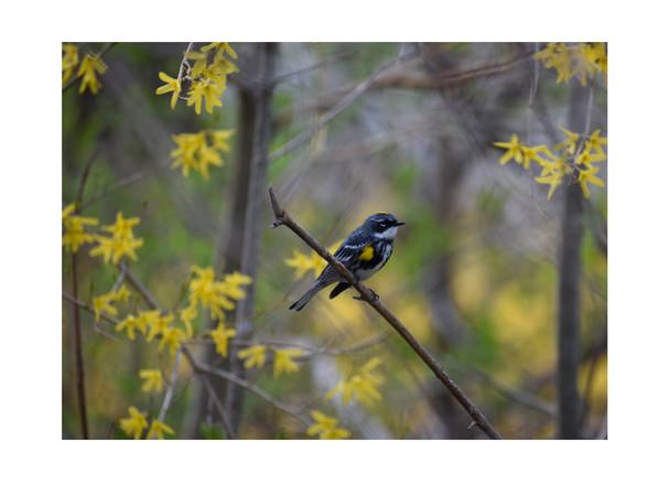 warbler 2.jpg