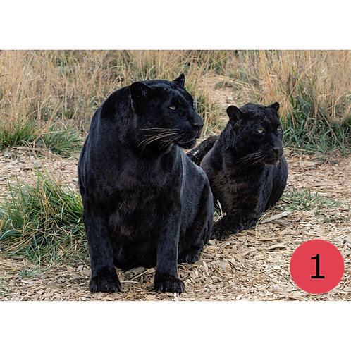 TWAS Greeting Cards - Big Cats