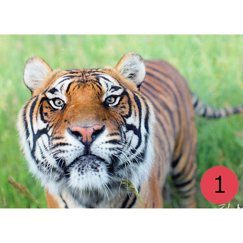 TWAS Greeting Cards - Tigers