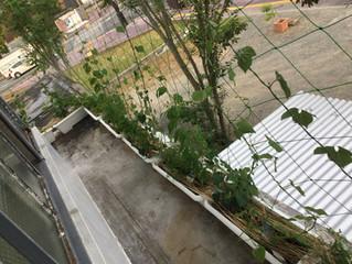 グリーンカーテン 0530