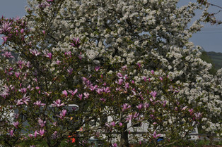 Our Magnolia Tree