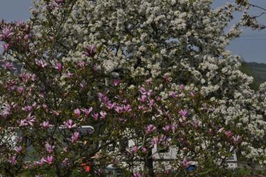 Our Magnolia Tree