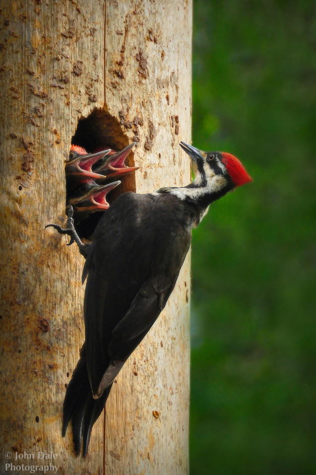 Pileated Woodpecker Home