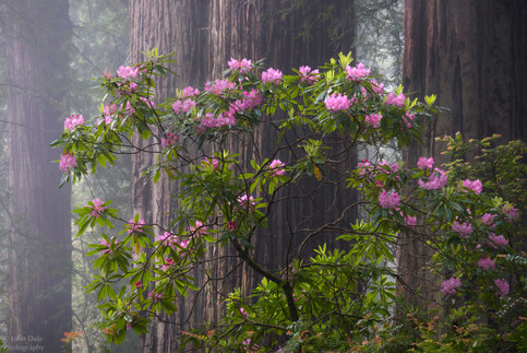 Rhodies in the Fog