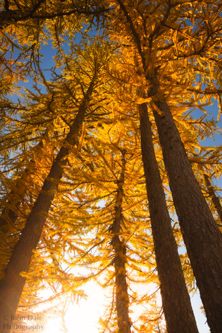 Larch Light