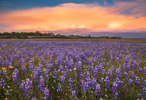 Lupine and Thundercloud