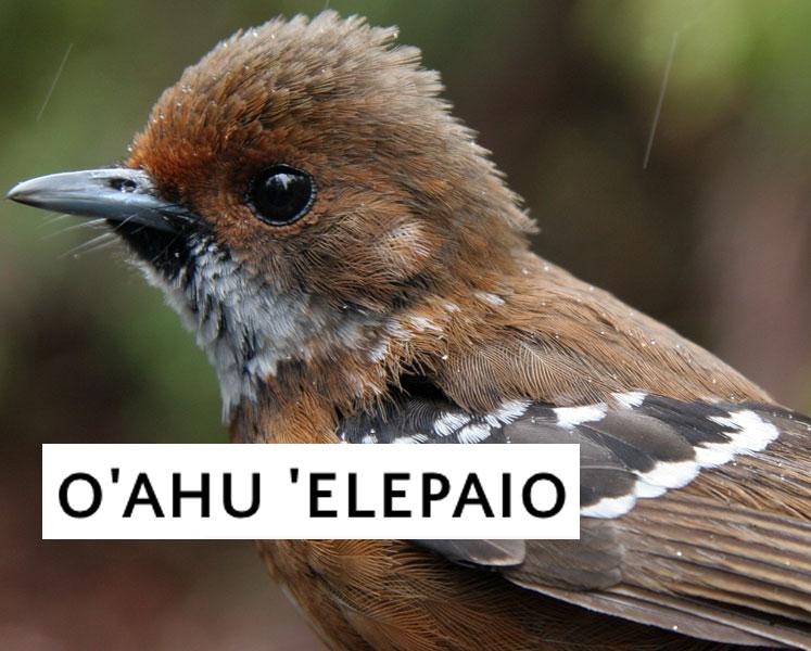 www.elepaio.org
