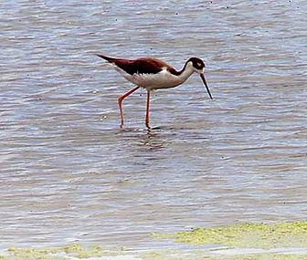 Ae'o – the Blackneck Stilt.jpg