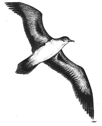Wedge-Tailed Shearwater.jpg