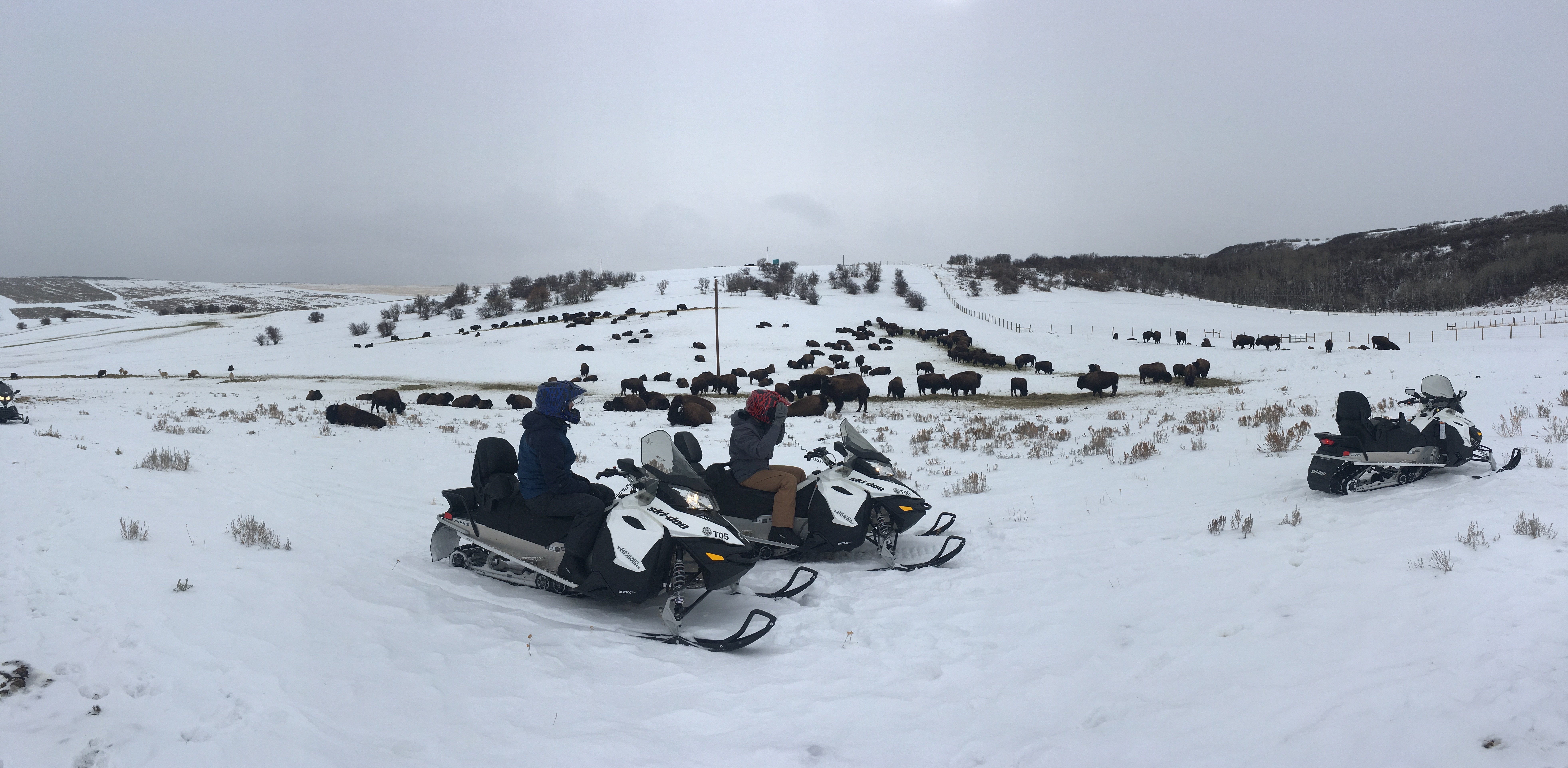 Bison Snowmobile Tour