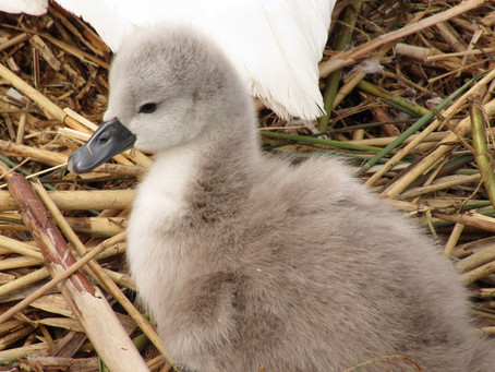 First Cygnet of the year!