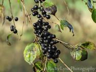 Common Buckthorn Berries