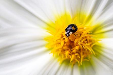 Zwart liefheersbeestje op een dahlia.jpg