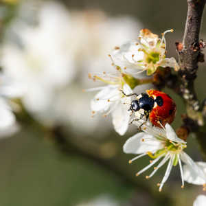 Ladybug with pollen-Edit.jpg