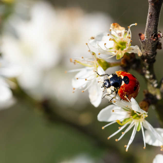 Ladybug with pollen-Edit.jpg