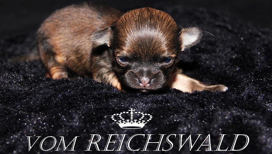 Chihuahua vom Reichswald