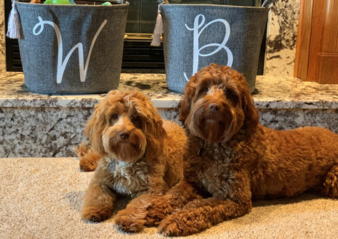 Wrigley 8 months and Bailey 20 months,  Australian Labradoodles