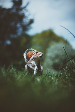Red Tail Squirrel