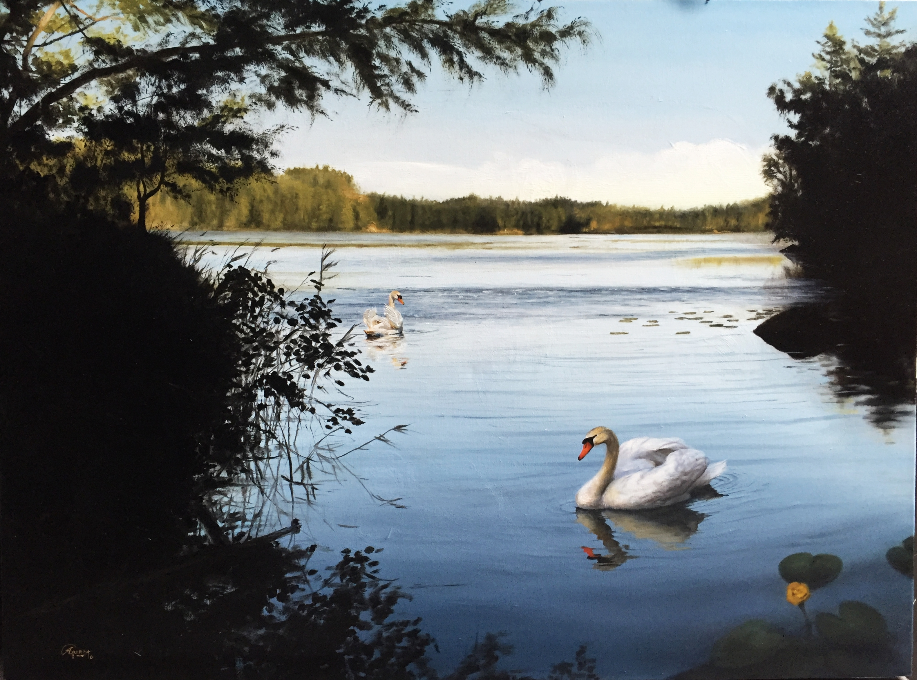 Swans on a Lake in Finland 2