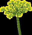 Fleur d'aneth.png