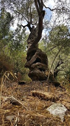 Doğanın Ruhu Zeytin Ağacı