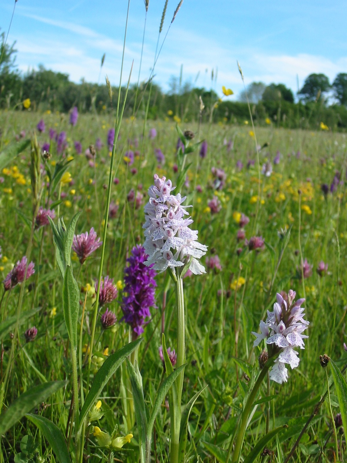 2001-11-Common Spotted Orchid 01