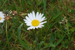 2010-06-Ox-eye Daisy 02
