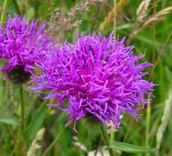 2003-09-Common Knapweed 03