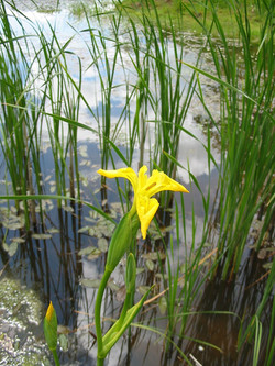2003-05-Yellow Flag Iris