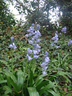2011-04-Bluebell 01
