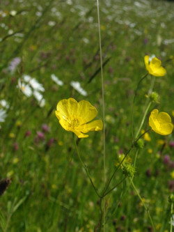 2008-09-Common Buttercup