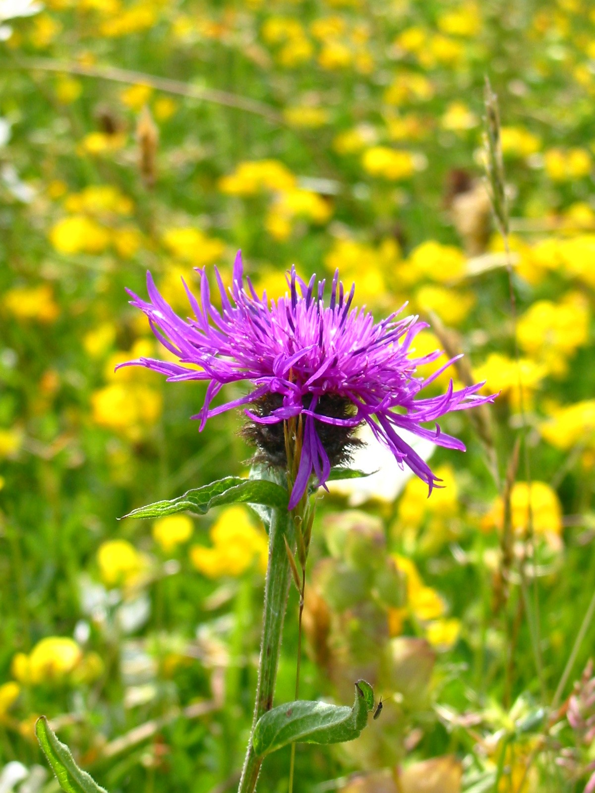 2003-06-Common Knapweed 01