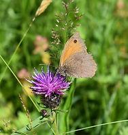 Meadow Brown.jpg
