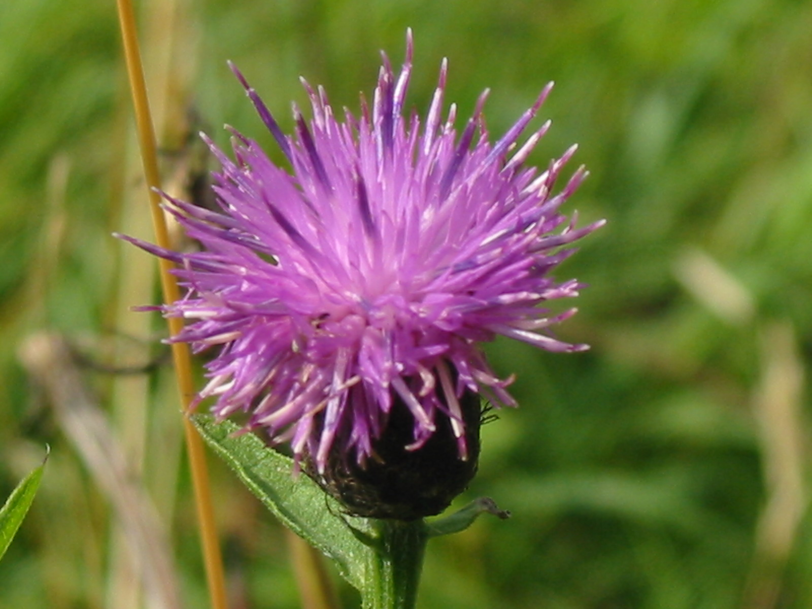 2014-07-Commom Knapweed 05