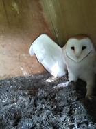 barn owl chick.jpg