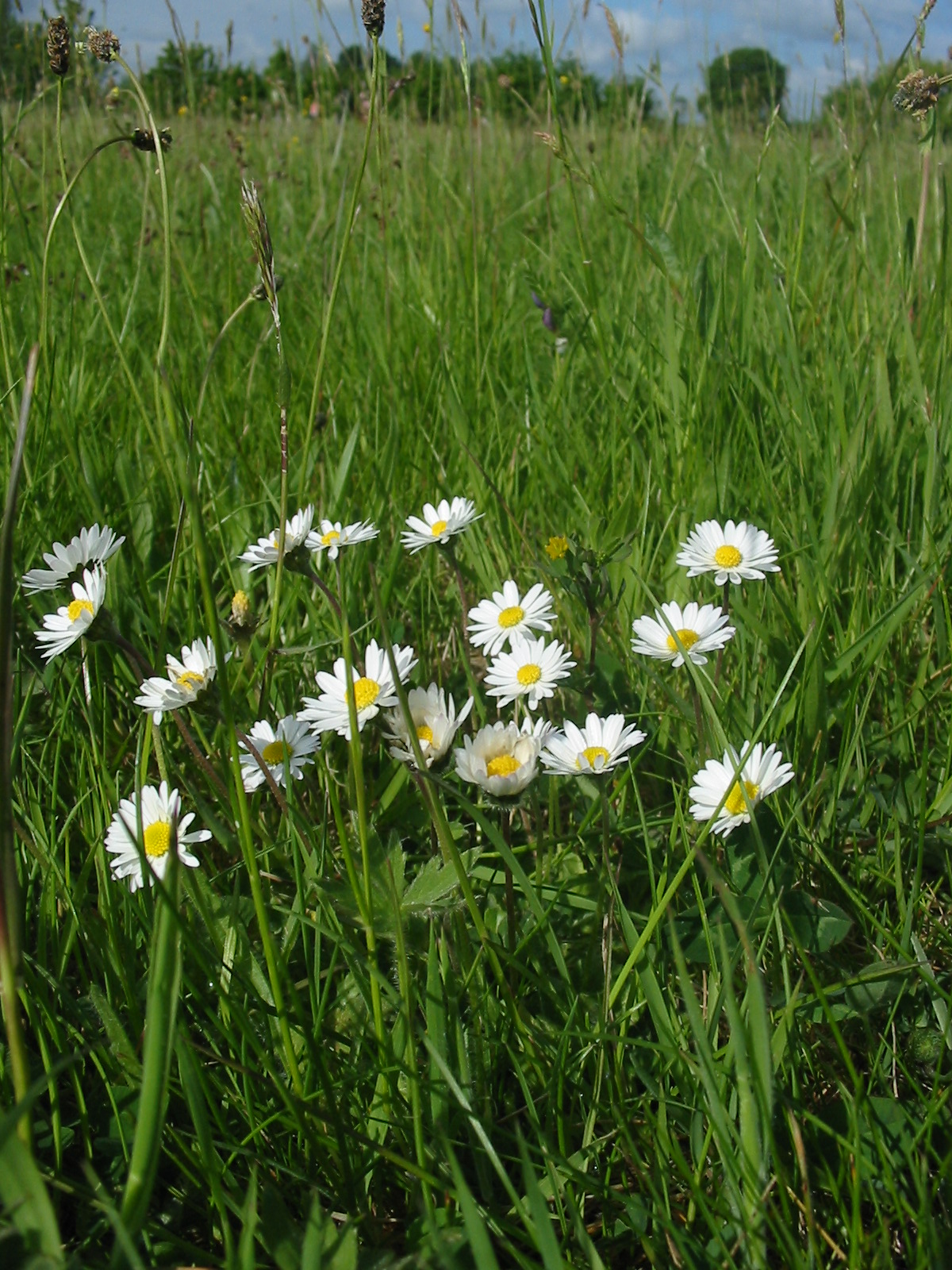 2008-05-Ox-eye Daisy 01