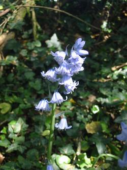 2011-05-Bluebell 02