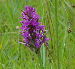 2017-09-Southern Marsh Orchid