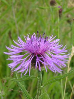 2008-09-Common Knapweed